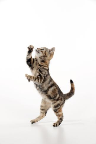 Kitten Jumping Fotografie-Druck