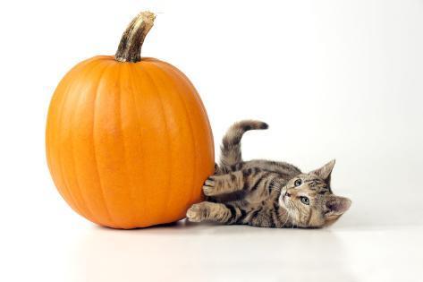 Kitten Laying Next to a Pumpkin Fotografie-Druck