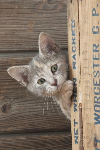 Kitten Looking around the Side of a Wooden Box Fotografie-Druck