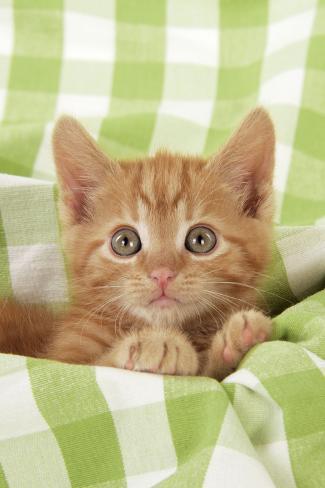 Kitten on Green Gingham Fotografie-Druck