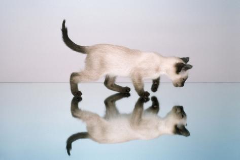 Kitten on Mirror Fotografie-Druck