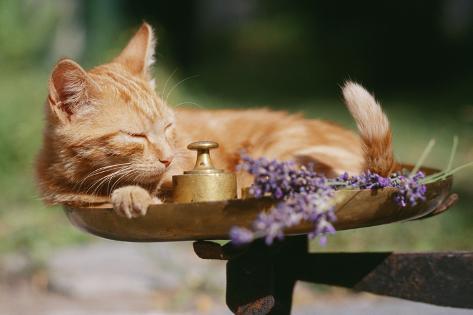 Kitten on Scale with Lavender Fotografie-Druck