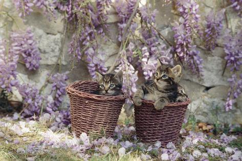 Kittens in Baskets by Wisteria Fotografie-Druck