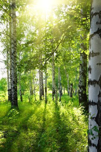 Summer Birch Woods with Sun Fotografie-Druck