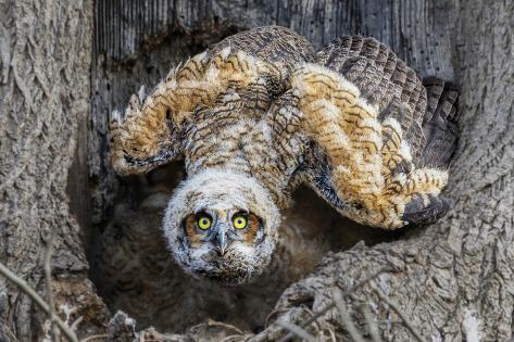 great horned owl nest in pennsylvania fotografie druck von kurt wecker bei. Black Bedroom Furniture Sets. Home Design Ideas