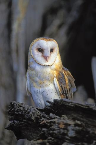 Barn Owl Kunstdruck