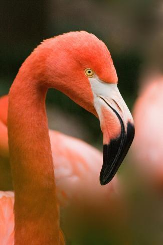 Flamingo Up Close Kunstdruck