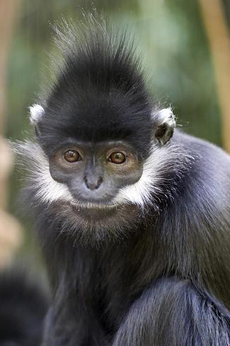 Gibbon Up Close Kunstdruck