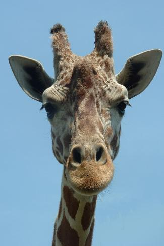 Giraffe Up Close Kunstdruck