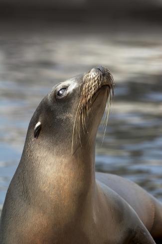 Harbor Seal Kunstdruck