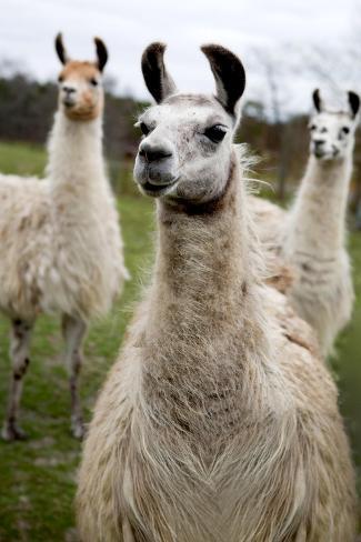 Lamas Kunstdruck