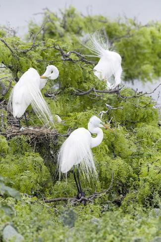 Great Egret Displaying Breeding Plumage at Nest Colony Fotografie-Druck