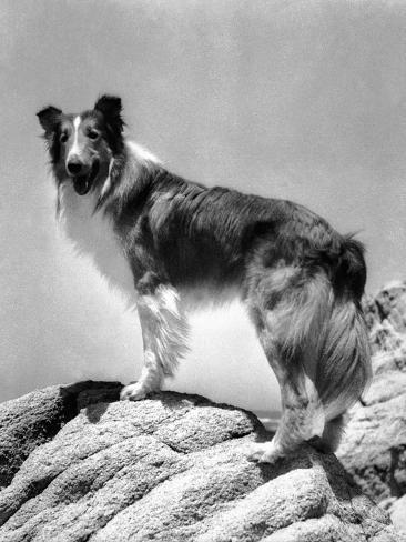 Lassie Come Home, 1943 Foto