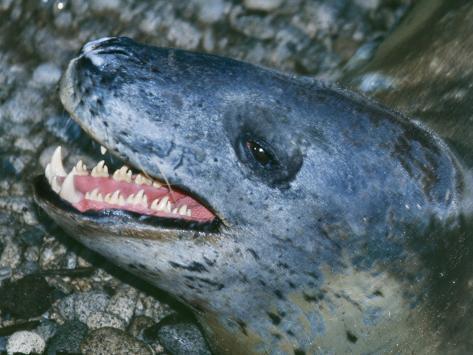 Leopard Seal Fotografie-Druck