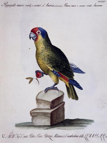 Lesser Green and Crimson Parrot of America (Psittacus Minore and Coccineo Viridis Americanus) Giclée-Druck