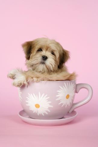 Lhasa Apso 12 Week Old Puppy in Tea Cup Fotografie-Druck
