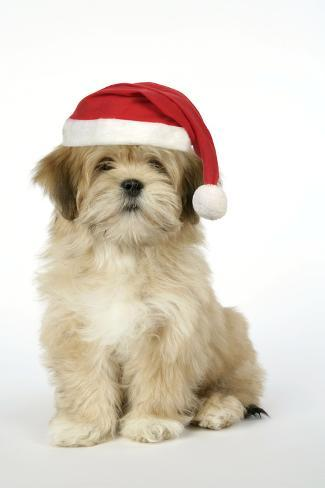 Lhasa Apso 12 Week Old Puppy with Christmas Hat Fotografie-Druck