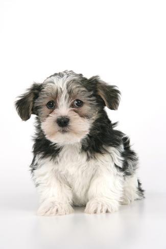 Lhasa Apso Cross Puppy (7 Weeks Old) Sitting Down Fotografie-Druck