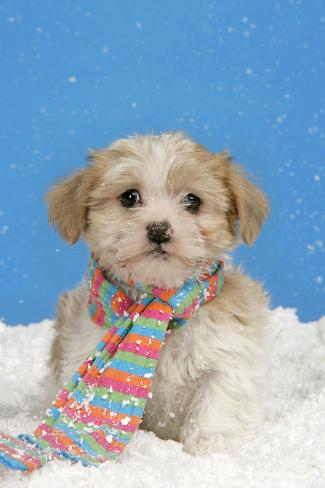 Lhasa Apso Cross Puppy (7 Weeks Old) Fotografie-Druck