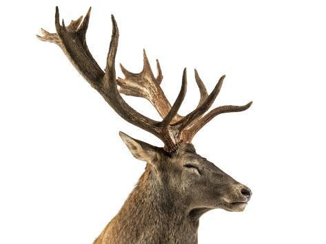 Close-Up of a Red Deer Stag in Front of a White Background Fotografie-Druck