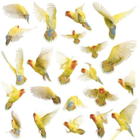 Composition of Rosy-Faced Lovebird Flying, Agapornis Roseicollis, also known as the Peach-Faced Lov Fotografie-Druck