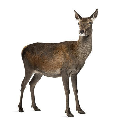 Female Red Deer in Front of a White Background Fotografie-Druck