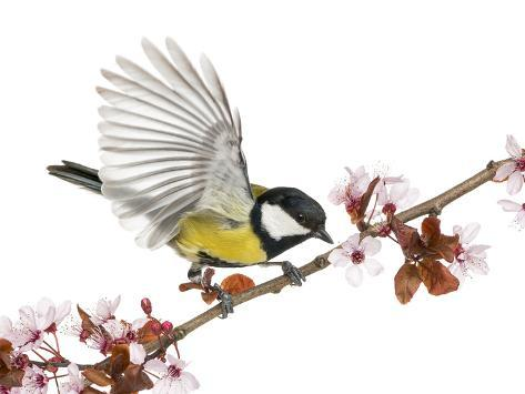 Male Great Tit Taking off from a Flowering Branch - Parus Major, Isolated on White Fotografie-Druck