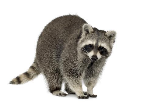 Raccoon (9 Months) - Procyon Lotor Fotografie-Druck