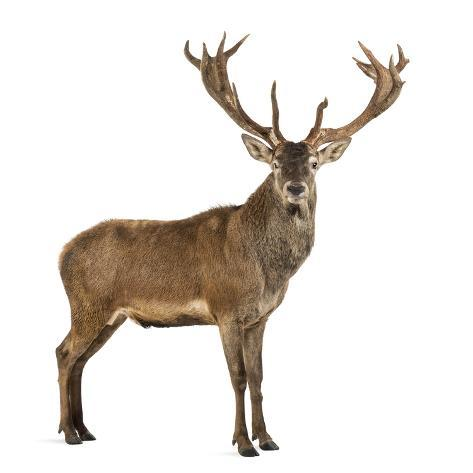 Red Deer Stag in Front of a White Background Fotografie-Druck