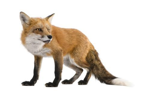 Red Fox Fotografie-Druck