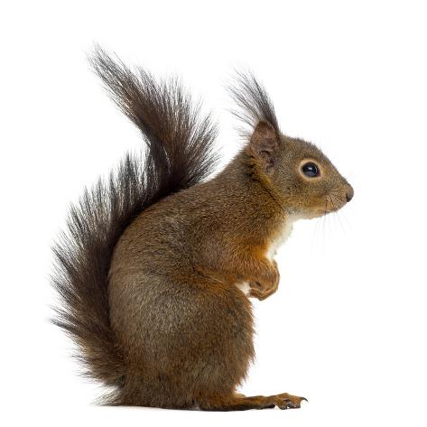 Red Squirrel in Front of a White Background Fotografie-Druck