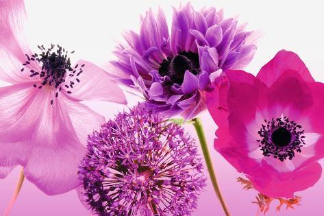 Lila Blumen Poster