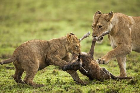 Lion Cub and Wildebeest Calf Fotografie-Druck