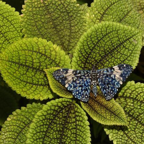 Red Cracker Butterfly (Hamadryas Amphinome) Captive Occurs in the Americas Fotografie-Druck