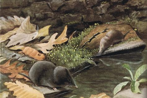 Short Tailed Shrew and Common Shrew Giclée-Druck