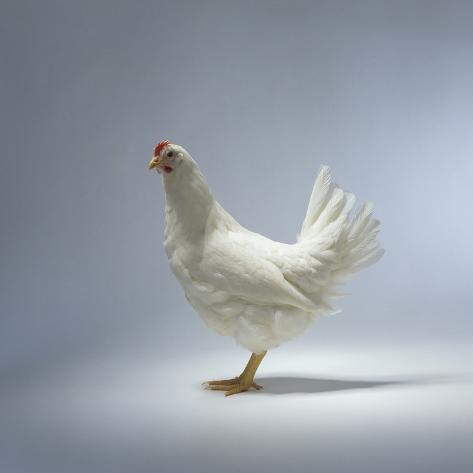 White Chicken Fotografie-Druck