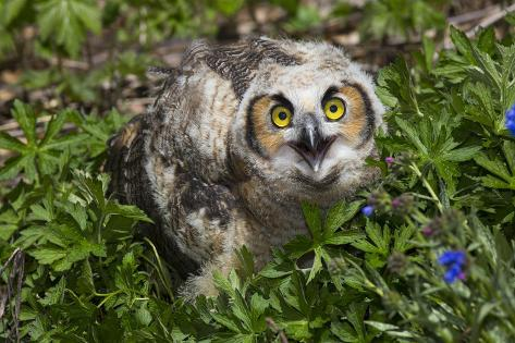 Great Horned Owl (Bubo Virginianus) Just Fledged Youngster Fotografie-Druck