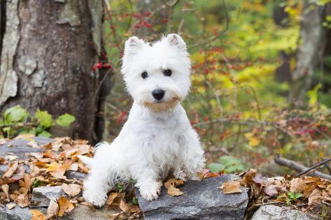 West Highland Terrier Puppy, Goshen, Connecticut, USA Fotografie-Druck