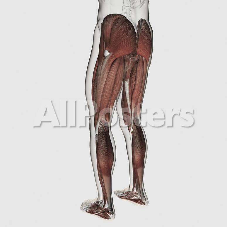 Male Muscle Anatomy Of The Human Legs Posterior View Kunstdrucke
