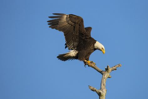 Bald Eagle, Haliaeetus Leucocephalus, Landing on Stag, Sw Florida Fotografie-Druck