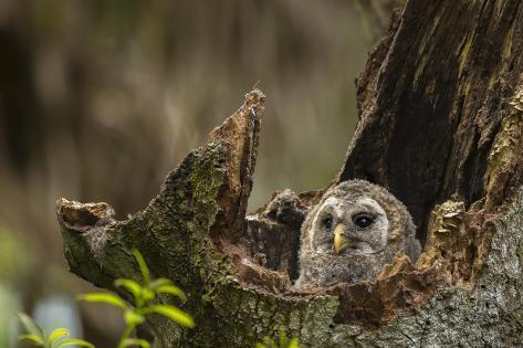 Barred Owl Chick in Nest Cavity in an Oak Tree Hammock, Florida Fotografie-Druck