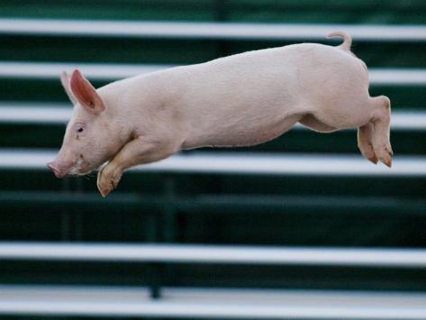 Beauty a 20-Week-Old Pig Flies Through the Air Fotografie-Druck