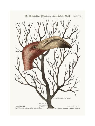 The Bill of the Flamingo in its Full Dimensions, 1749-73 Giclée-Druck