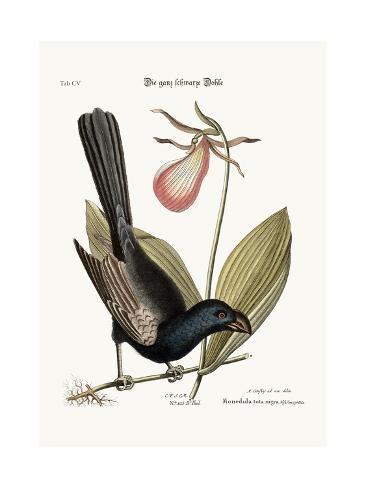 The Razor-Billed Black-Bird of Jamaica, 1749-73 Giclée-Druck