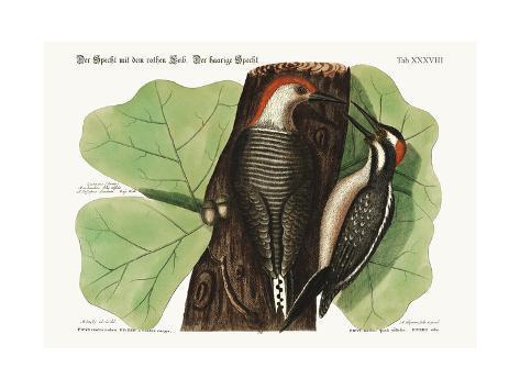 The Red-Bellied Woodpecker. the Hairy Woodpecker., 1749-73 Giclée-Druck