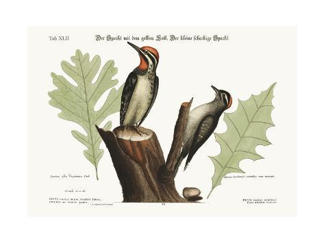 The Yellow-Bellied Woodpecker. the Smallest Spotted Woodpecker, 1749-73 Giclée-Druck