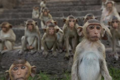 Long-Tailed Macaques (Macaca Fascicularis) Group of Juveniles on Steps at Monkey Temple Fotografie-Druck