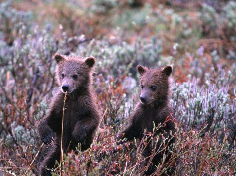 Two Grizzly Cubs (Ursus Arctos), Denali National Park & Preserve, Alaska, USA Fotografie-Druck