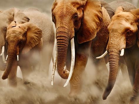 Afrikanische Elefanten Fotografie-Druck