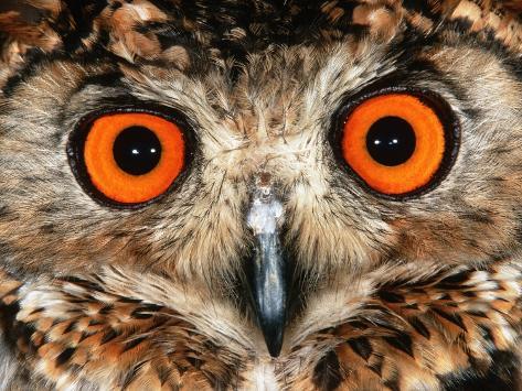 Cape Eagle Owl Eyes Fotografie-Druck